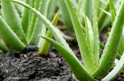 Tıbbi Sarısabır bitkisi Aleo Vera nedir ? Aleo Vera'nın hiç bilmediğiniz faydaları ?